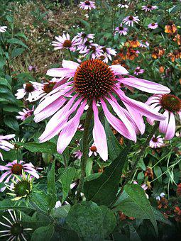 Echinacea, Herb, Medicinal, Herbal, Plant, Flower
