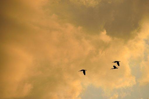 Sunset, Sky, Florida, Herons Flying, Birds, Flight