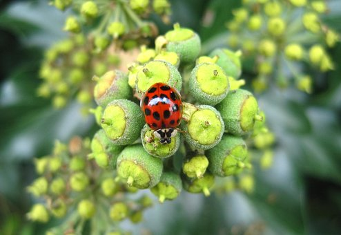 Asian Ladybug, Efeublüte, Large Dots, Insect, Nature