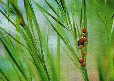Lady Bugs, Green, Grass, Insect, Ladybug