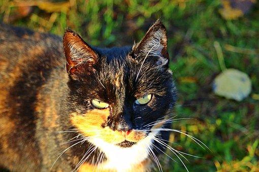 Cat, Mieze, Kitten, Three Coloured, Lucky Cat