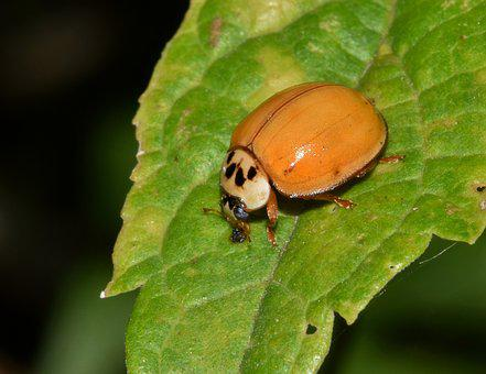 Ladybug, Ladybird, Lady Beetle, Harlequin Lady Beetle