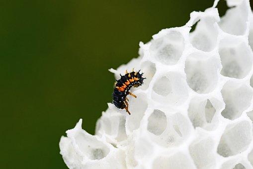 Ladybird Larvae, Wax Comb, Harlequin Ladybird Larvae