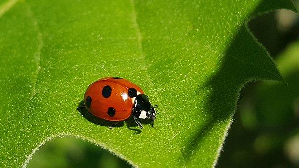 Ladybug, 7-spot Lady Beetle, Ladybird, Lady Beetle