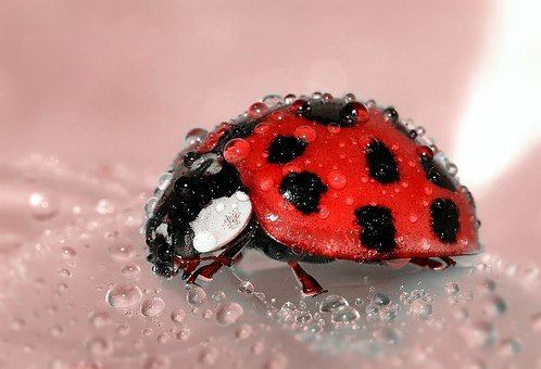 Ladybug, Beetle, Insect, Lucky Charm, Red, Points