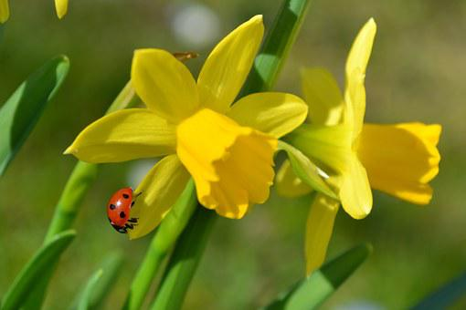 Flowers, Easter Lilies, Narcissus, Ladybug