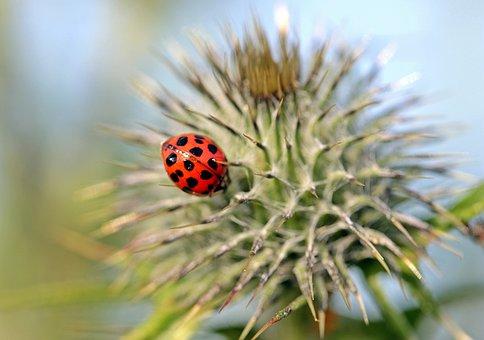 Ladybug, Asian Ladybug, Harmonia Axyridis, Lucky Charm