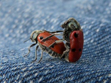 Mating, Copulation, Mylabris Quadripunctata, Ladybug