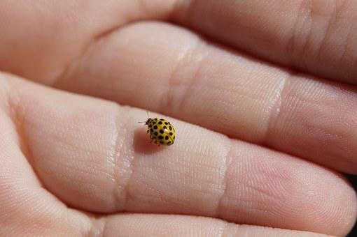 Ladybug, Mushroom Ladybug, Beetle