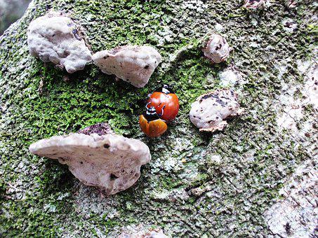 Ladybug, Beetle, Insect, Leaf, Stem, Fungi, Ear Nerve