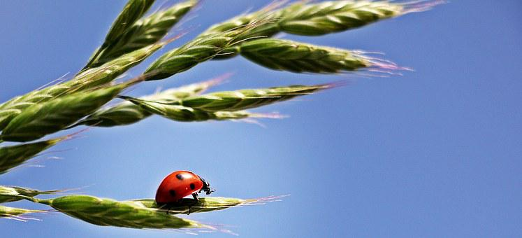 Ladybug, Ear, Sky, Lucky Ladybug, Red, Points, Cereals