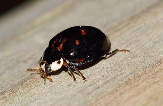 Ladybug, Beetle, Insects, Macro