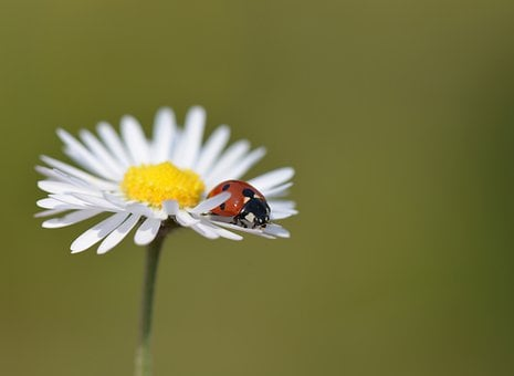 Ladybug, Nature, Insects, Macro, Marguerite, Flowers