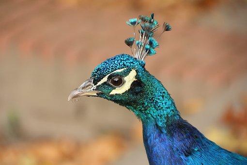 Animal, Bird, Peacock, Nature, Species, Blue, Bill