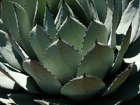 Pita, Century Plant, Agave, Cactus, Plant, Green