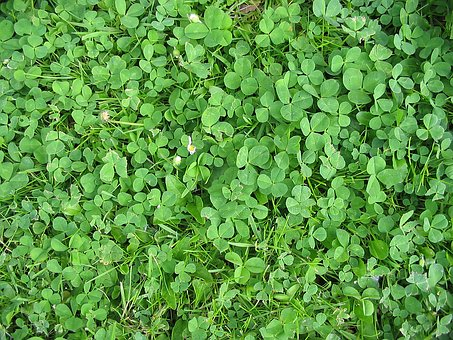 Field, Green, Meadow, Red Clover, Lucky Clover, Plant