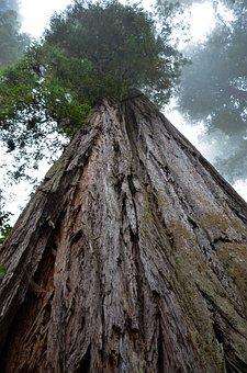 Usa, America, California, Sequoia Trees