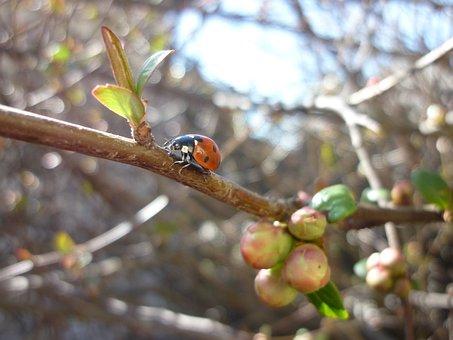 Ladybug, Spring, Japanese Quince, Rügyezés
