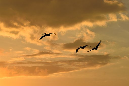Sunset, Florida, Birds, Avian, Pelicans Flying, Sky