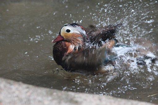 Mandarin Duck, Duck Bird, Waterfowl, Aix Galericulata