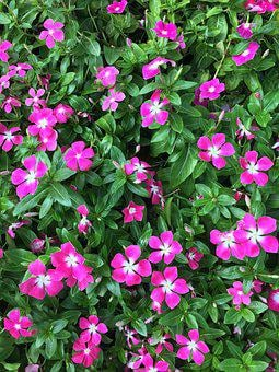Vinca, Wildflowers, Magenta, Grass, Floral, Pink, Ditsy