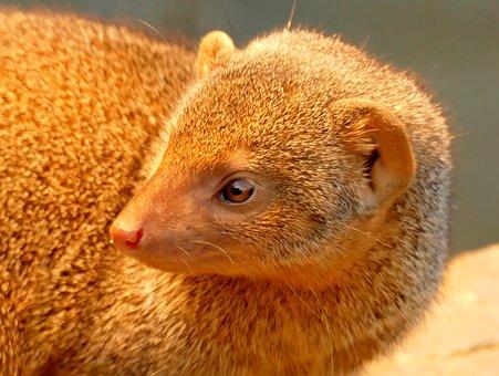 Mongoose, Animal, Creature, Africa, Zoo, Zwergmanguste