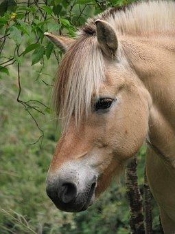 Fjord Horse, Norwegian Fjord Horse, Animal, Equine