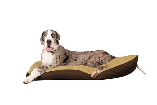 Dog, Great Dane, Animal, German Breed