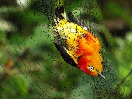 Birds, Brazil, Uirapuru, Mist Net, Animals, Animal