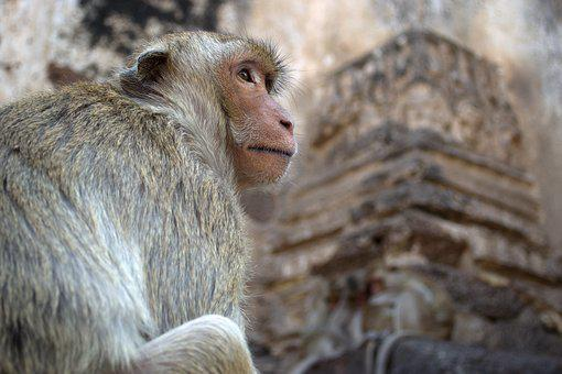 Monkey, Macaque, Animals, Nature