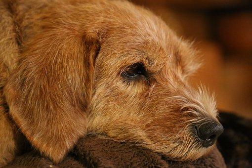 Dog, Animals, Brown, Basset, Philosopher, Rest, Nos