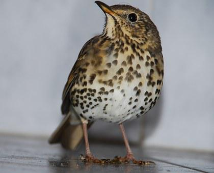 Song Trust, Turdus Philomelos, Bird, Profile, Animal