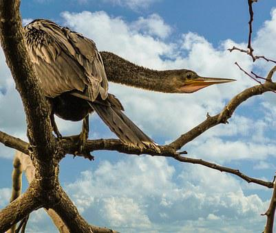 Bird, Anhinga, Snakebird, Feathers, Beak, Roosting
