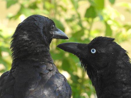 Black, Crows, Raven, Bird, Wild, Animal, Nature, Corvus