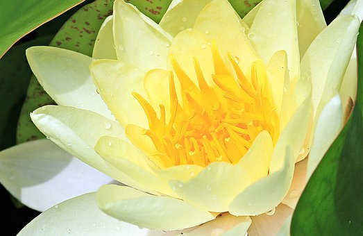 Water Lily, Nuphar Lutea, Aquatic Plant, Blossom, Bloom