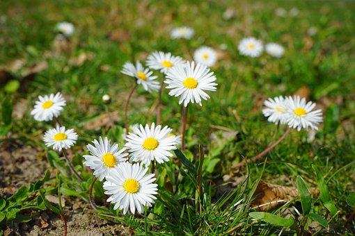 Daisy, Flower, Blossom, Bloom, White, Bellis Philosophy