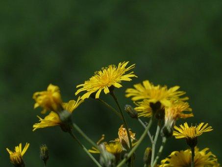 Meadows Dubius, Tragopogon Pratensis, Blossom, Bloom