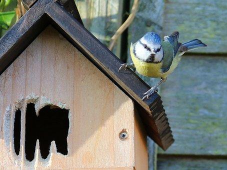 Blue Tit, Nesting, Nest Box, Female, Bird, Tit, Nest