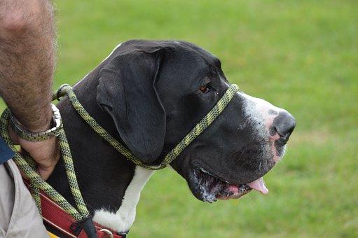 Dog, Great Dane, Canine