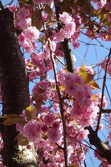 Cherry Blossom, Spring, Old Town, Bonn, Blossom, Pink
