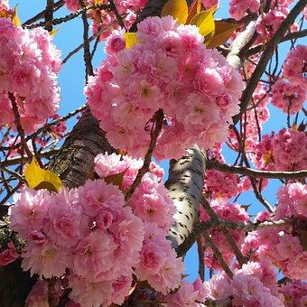 Cherry Blossom, Bonn, Heer Road, Cherry, Summer, Spring