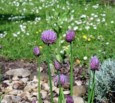 Chives, Flower, Purple Flower, Herb Limited, Garden