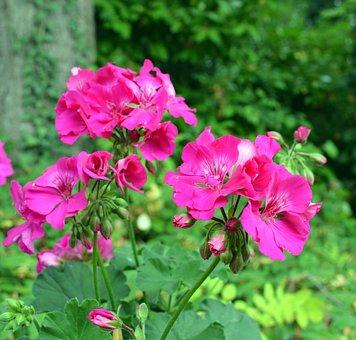 Geranium Flower Blossoms, Pink, Plant, Close, Bloom