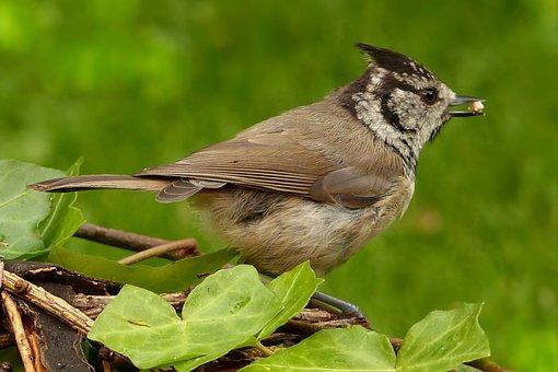 Animal, Bird, Crested Tit, P'tit Iubatum, Foraging