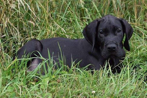 Great Dane, Puppy, Dog, Pet, Black