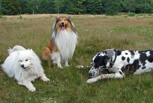 Rough Collie, Collie, Samoyed, Great Dane, Dog, Dogs