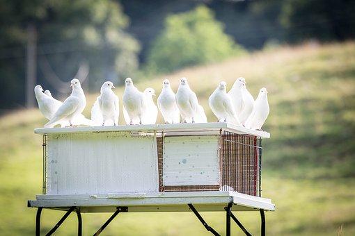 White Doves, Dovecote, Bird, Plumage, Animal