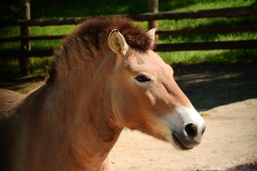 Przewalski's Horse, Horse, Head, Equus Przewalskii