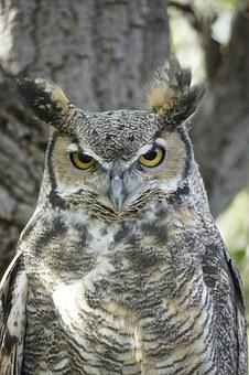 Great Horned Owl, Bird, Eyes, Watching, Feather, Beak