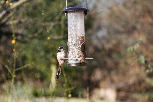 Long-tailed Tit, Garden Bird, British, Warwickshire